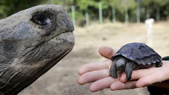 tortuga galapago bebe